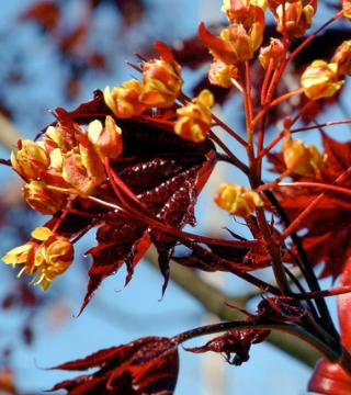 Florile paltinului de câmp Rayal Red