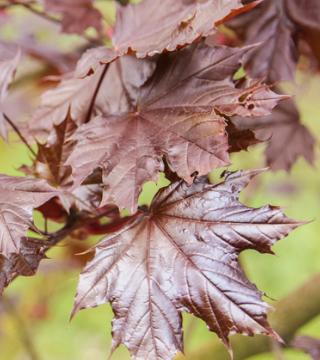 Frunzele paltinului de câmp Rayal Red