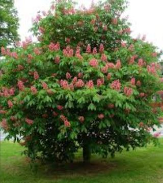 Caștan cu flori roșii