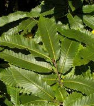 Frunzele caștanului comestibil