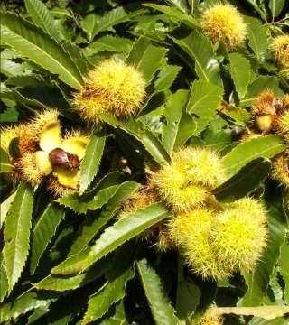 Fructele caștanului comestibil