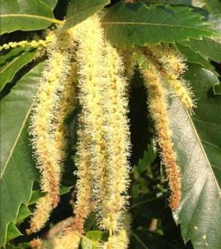 Florile caștanului comestibil