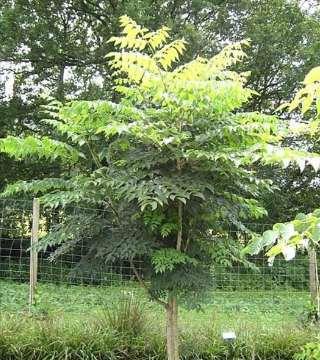Arbore japonez angelica
