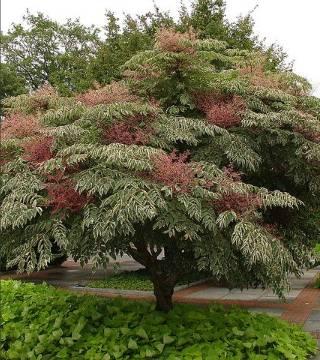 Arbore angelica japonez Variegata