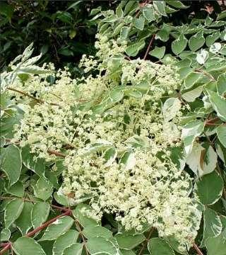 Florile arborelui angelica japoneză Variegata