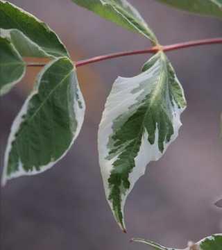 Frunza arborelui angelica japoneză Variegata