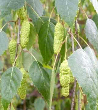 Fructul mesteacănului pletos