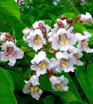 Цветы бигнониевидной катальпы