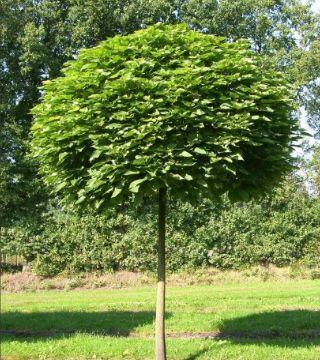 Arbore globular catalpa