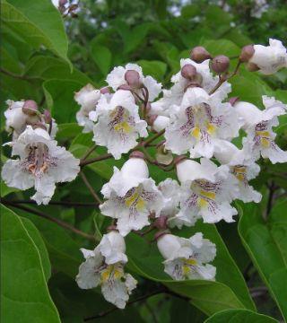 Цветы бигнониевидного катальпы Нана
