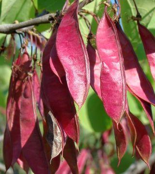 Fructele arborelui Iudei