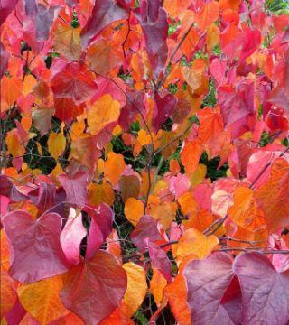 Frunzele arborelui de Iudeea