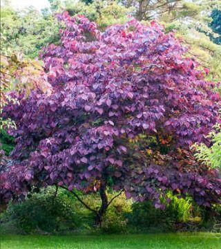 Arborele de Iudeea