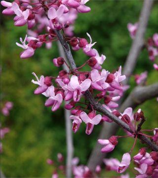 Florile arborelui de Iudeea
