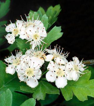 Florile păducelului