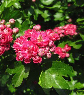 Florile păducelului cu flori roșii