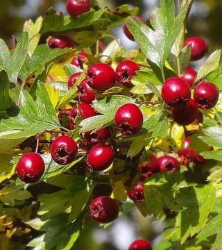 Fructele păducelului cu flori roșii