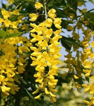 Цветы бобовника Ватерера Воссии