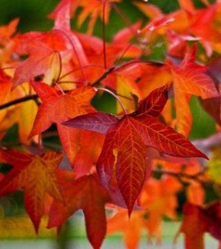 Frunze arborelui de gumă