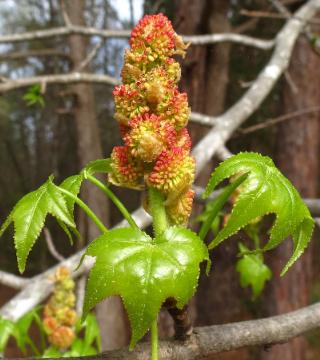 Цветы смолоносного ликвидамбара Гам Болл