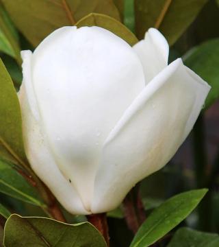 Floarea magnoliei veșnic verde Francois Treyve