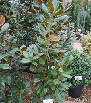 Magnolia veșnic verde Francois Treyve