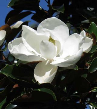 Floarea magnoliei parfumată de vara