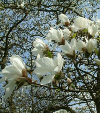 Цветы магнолий кобус