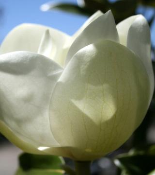 Floarea magnoliei grandiflora Alta