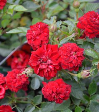 "Rosa miniature red - Trandafir ""Miniatura Roșie"""