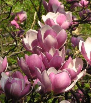 Florile magnoliei Roz