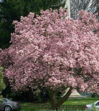Magnolia Roz