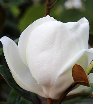 Floarea magnoliei grandiflora Goliath
