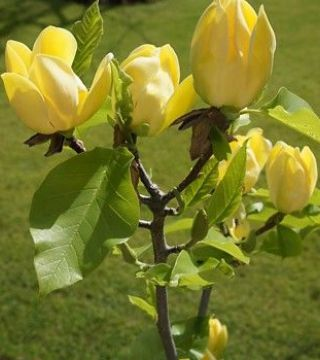Цветы бруклинской магнолий Желтая птица