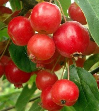 Плоды яблони Роялти