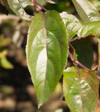 Лист яблони Роялти