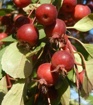 Fructele mărului ornamental Royal beauty