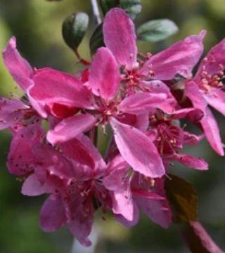 Florile mărului ornamental Royal beauty