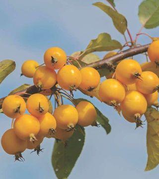 Fructele mărului Fontana