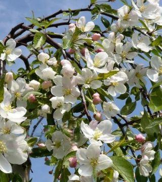 Florile mărului Fontana