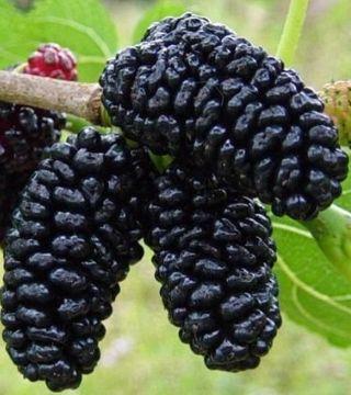 Fructele dudului negru
