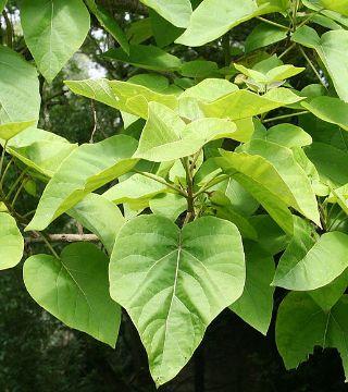 Frunzele paulowniei tomentosa