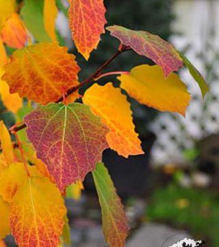 Frunzele plopului tremula Erecta