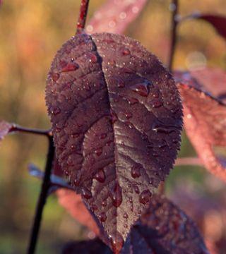 Frunza corcodusului Roșu