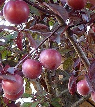 Fructe corcodusului Roșu