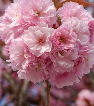 Florile cireșului Japonez Kanzan