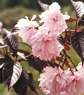 Florile cireșului Japonez Royal Burgundy