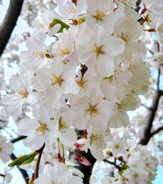Цветы едонской вишни Шидаре-йошино