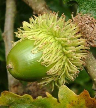 Плод серого дуба