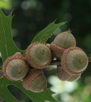 Плоды шарлахового дуба
